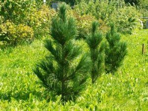 В Приморье в этом году высадят более 3,5 млн саженцев деревьев