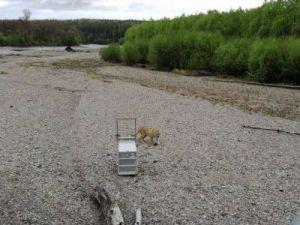 В дикую природу Приморья вернули тигра Владика