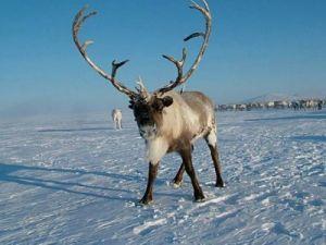 В Минприроды РФ направят предложение по охране популяций дикого северного оленя