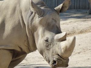 Биологи нашли способ «воскресить» белого носорога с помощью ЭКО