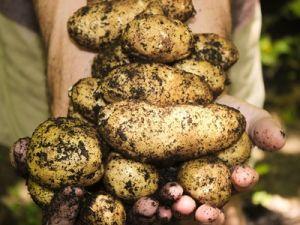 Россельхознадзор опроверг информацию, что за выращивание картошки для личных нужд можно получить штраф