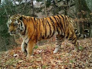 Старейшему амурскому тигру Тихону вылечили зубы