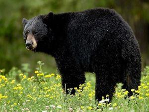 В США медведь спас трёхлетнего мальчика, который заблудился в лесу