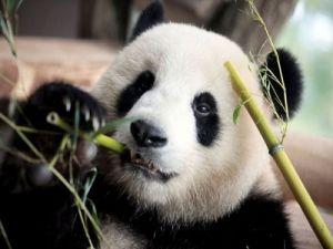 Учёные выяснили, что панды стали питаться бамбуком относительно недавно
