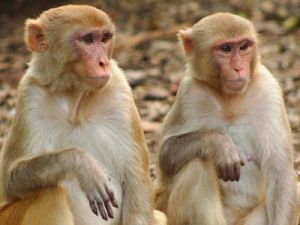 Генетики сделали очередной шаг на пути «очеловечивания» обезьяны