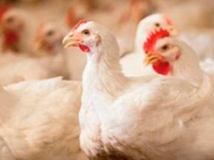 European Poultry Meat Producers Were Indignant at Allocation of 100 Million Euros to the Ukrainian Agricultural Holding