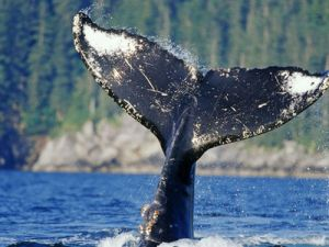 Scientists managed to write down singing of the Japanese whale