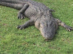 Около крымской школы нашли крокодила