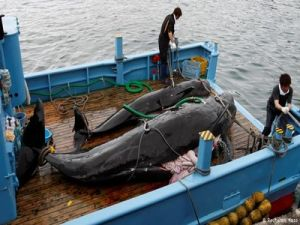 Japan Sent Flotilla to Whale Fishery Promising to Abide by the Catch Quota