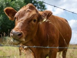 In Chelyabinsk Appeared Impound for Cows