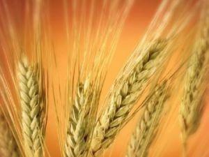 Россия осталась лидирующей страной-экспортёром пшеницы