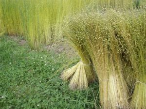 Flax Sown Area in Russia Will Grow by a Third