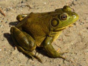 Африканские лягушки необычно заботятся о потомстве: наблюдение экспертов