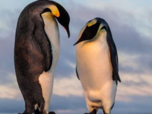 The Remains of a Giant Penguin were Discovered in New Zealand