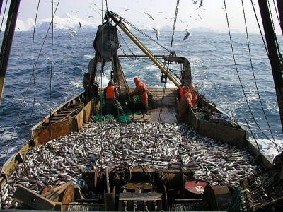 Вылов минтая в Охотском море превысил 184 тыс. тонн