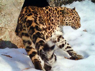 """Принцесса """"Земли леопарда"""" Бэри в Приморье стала мамой"""