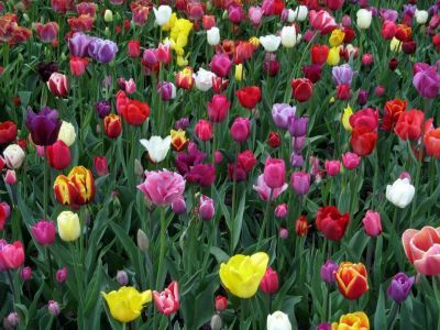 В столице высадят 2,5 миллиона тюльпанов, которые зацветут к майским праздникам