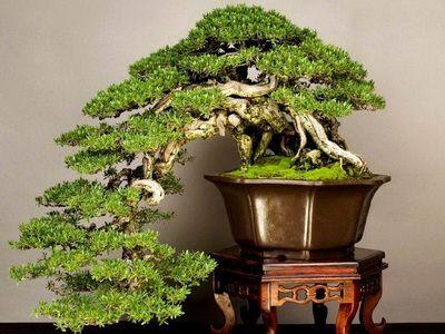 """В """"Аптекарском огороде"""" покажут деревья бонсай"""