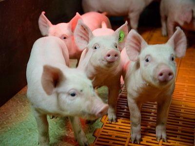 """""""Мираторг"""" произвёл 230 тыс. тонн свинины за январь-сентябрь 2017 года"""