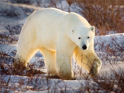 """20 Polar Bears with Cubs """"Surrounded"""" the Village in Chukotka"""