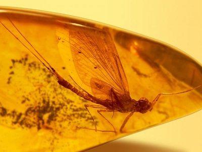 Российские учёные нашли в янтаре неизвестных науке насекомых