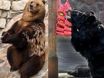 Три медведя в Московском зоопарке вышли из спячки