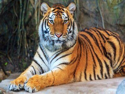 Злоумышленники пытались контрабандой вывезти из России амурских тигров