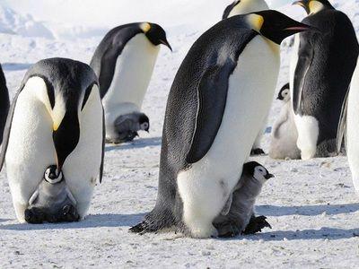 Императорским пингвинам угрожает вымирание
