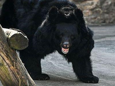 У медведей на Сахалине нашли опасную для человека болезнь