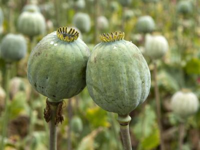The Federation Council Allowed to Grow up Opium Poppy in the Production Purposes