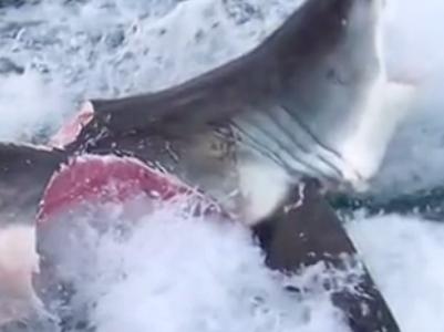 Учёным удалось запечатлеть битву акул-людоедов