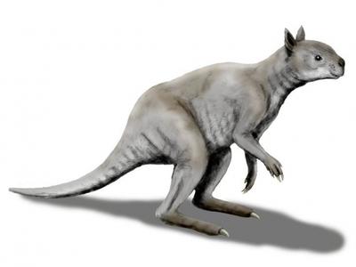 Учёные назвали сходства между вымершим видом кенгуру и пандой