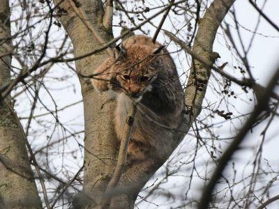 В Карелии охотоведы сняли с дерева рысь