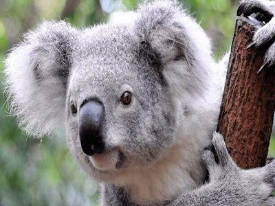 После пожаров в Австралии начали спасать коал от наводнения