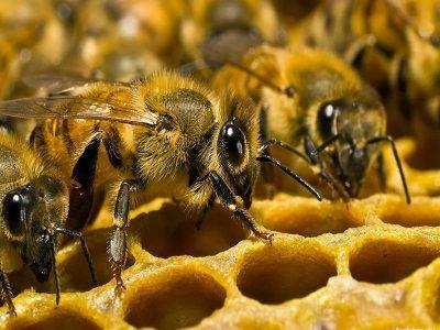 Учёные выяснили, что мозг человека и пчелы работает почти одинаково