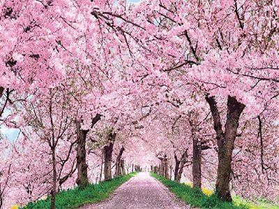 В Японии отметили самое раннее начало цветения сакуры