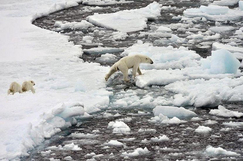 Исчезновение белых медведей в Арктике предрекли через 20 лет