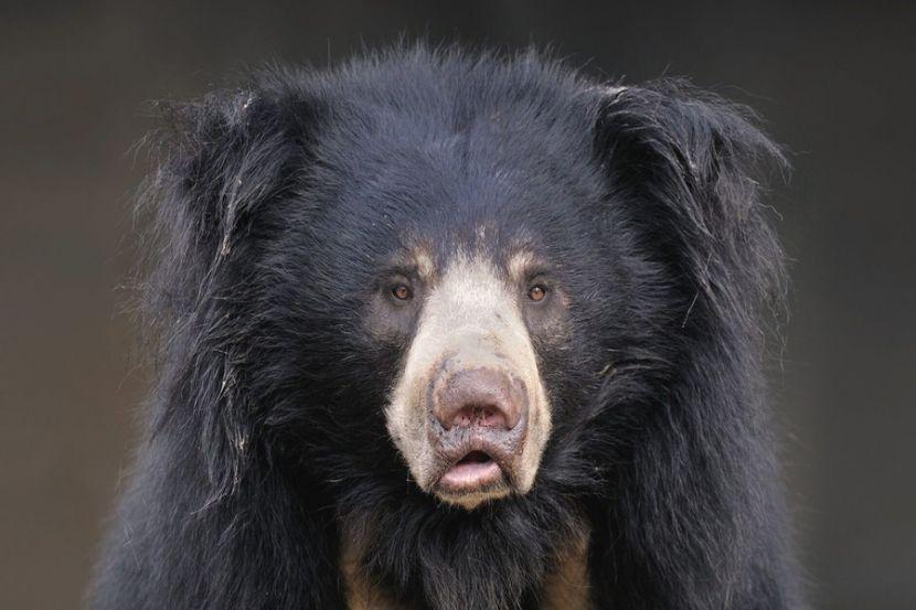 В Индии медведь напал на человека