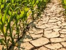 Climate change to worsen drought, diminish corn yields in Africa